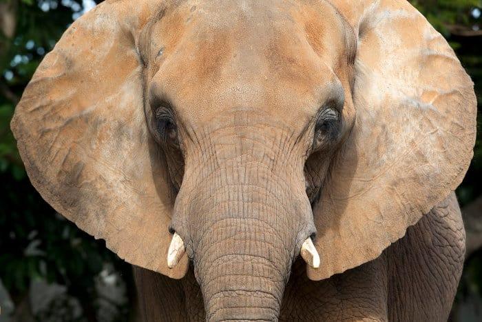 Ears of an African elephant.