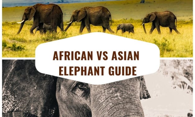 African vs Asian elephant – The complete guide to differences