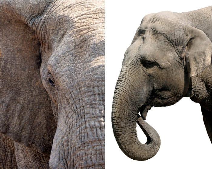 African vs Asian elephant head shape.