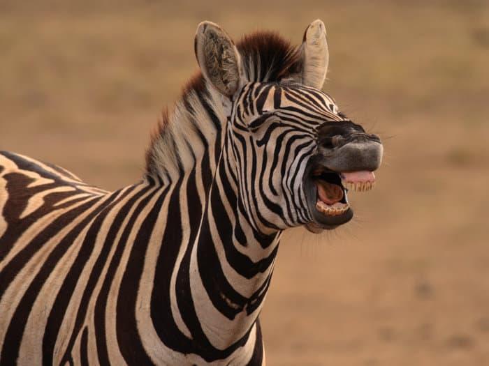 Zebra making a flehmen response grimace