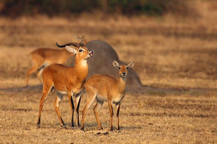 Male Ugandan kob showing signs of flehmen response during the breeding season