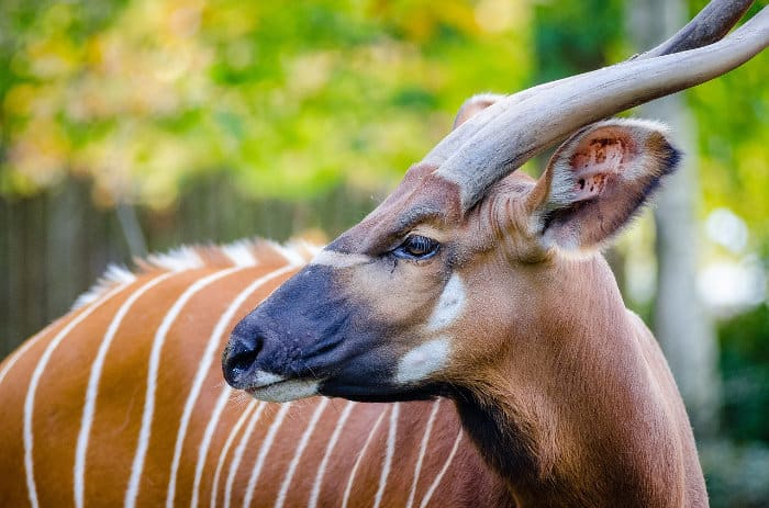 Close-up of a male bongo