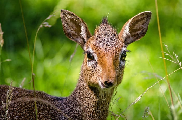 Portrait of a cute dik-dik