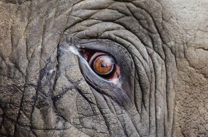 Wrinkled face and elephant eye close-up.