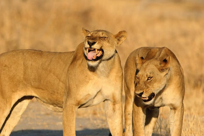 Female lion showing signs of flehmen response