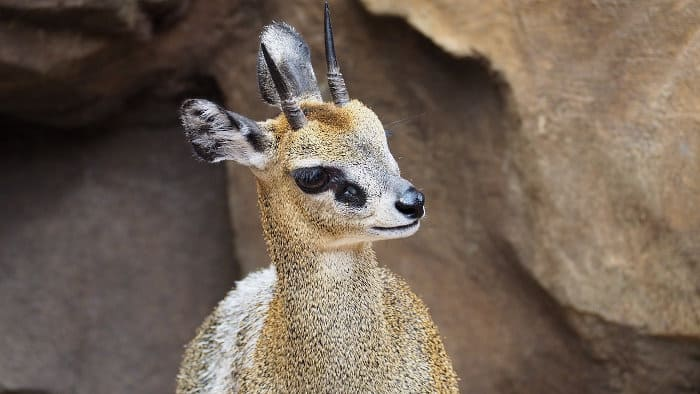 Close-up of a klipspringer