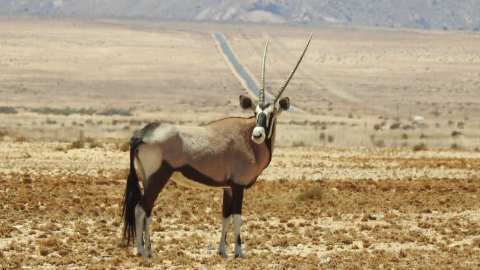elegant beisa oryx in semi-desert area