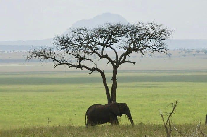Lone elephant in the savanna in Tanzania
