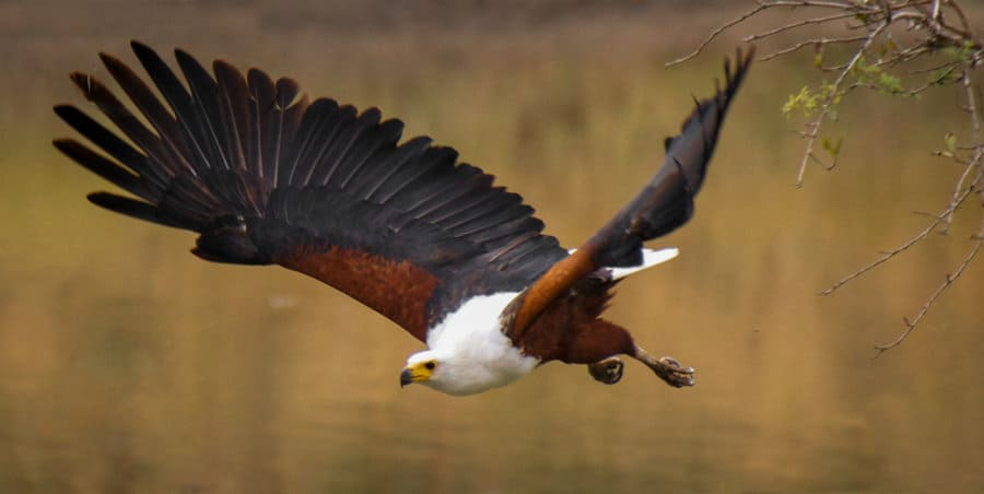 Fish eagle – 14 incredible facts about Africa's greatest raptor