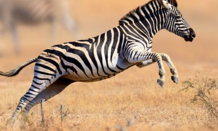 How fast is a zebra?