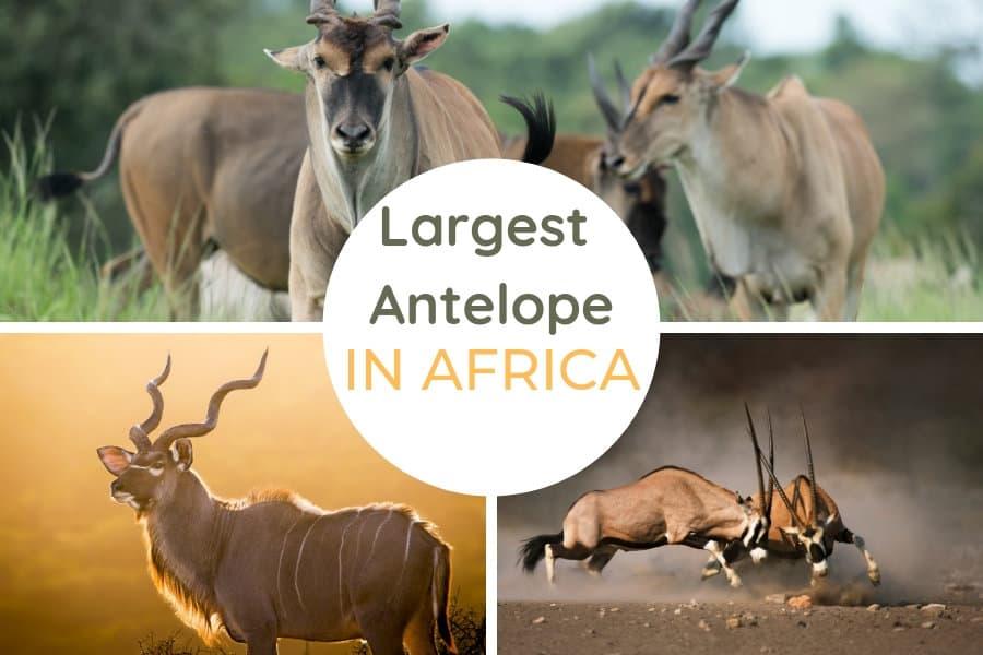 Top 10 largest antelope species in Africa