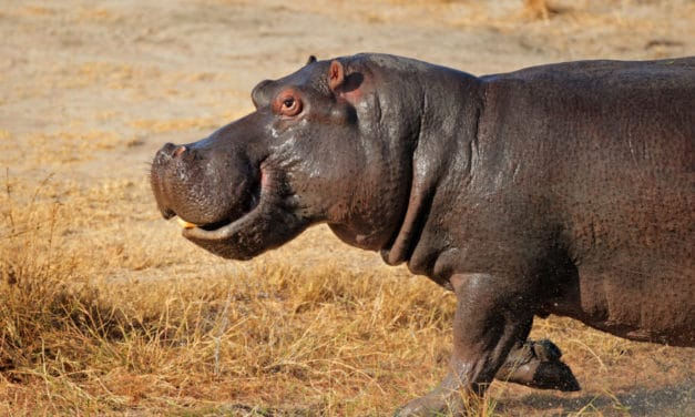 How fast is a hippo?