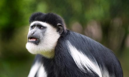 Colobus Monkey: 17 facts about Africa's most enchanting monkey