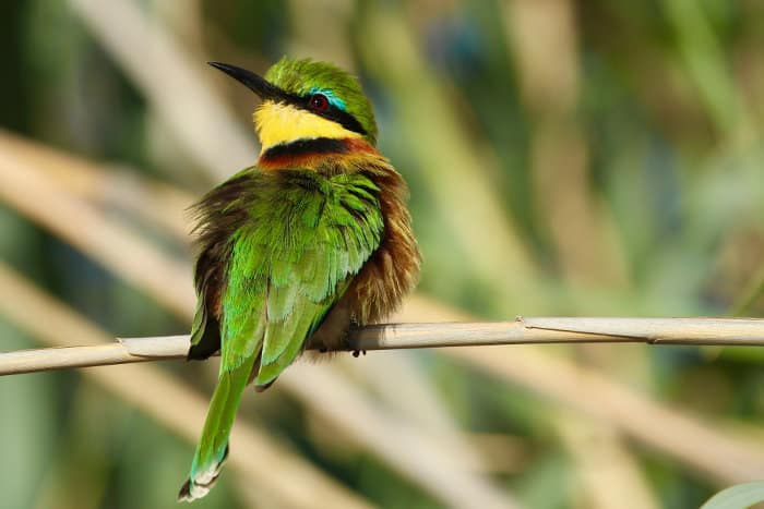 Little bee-eater photographed on the banks of the Kwando river in Botswana