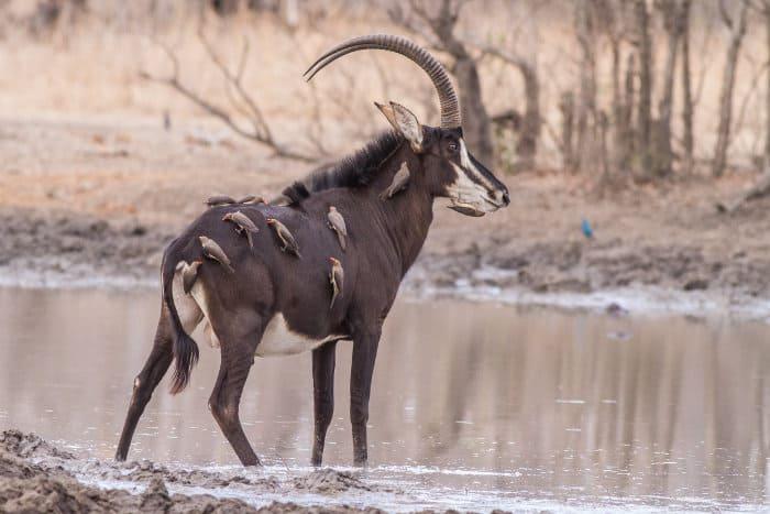 Top 10 Largest Antelope Species In Africa Africa Freak