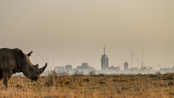 white rhino with Nairobi skyline in the background