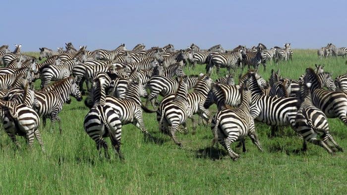 How Fast Can a Zebra Run? The Complete Story About Its Speed