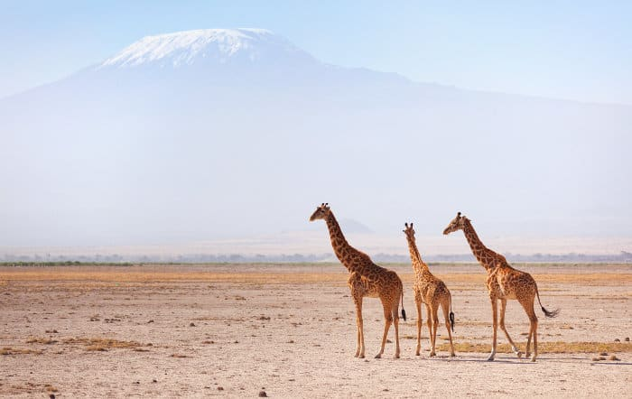 Three Masai giraffes in front of Mount Kilimanjaro
