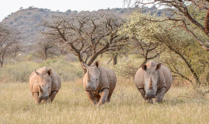 Three white rhinos posing in the South African bush