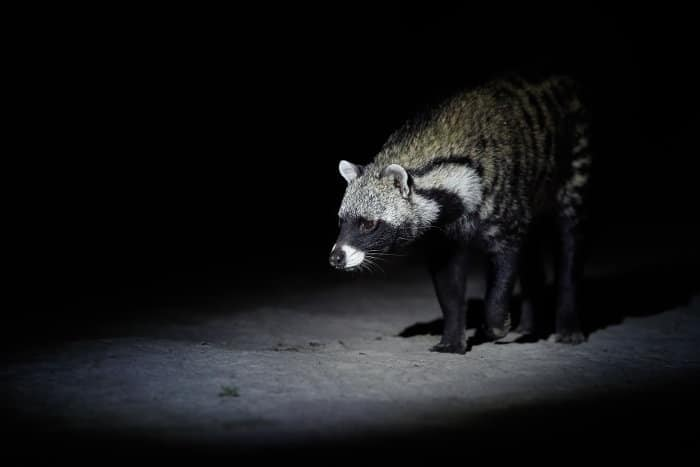 African civet on a night drive in Moremi