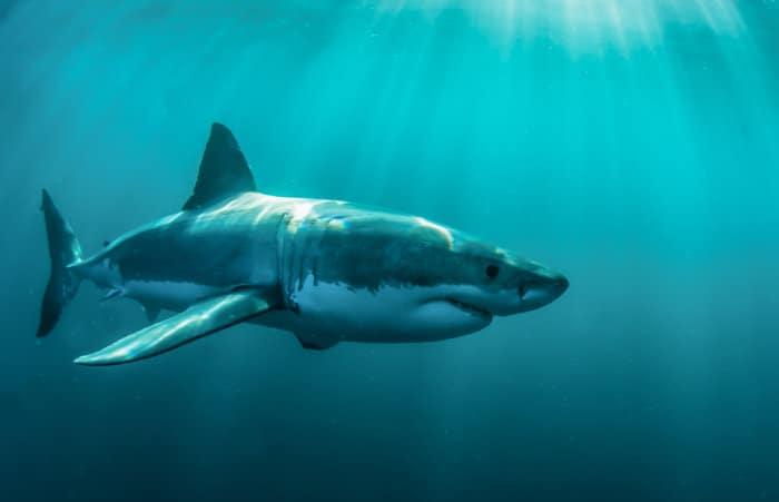 Big great white shark underwater in Gansbaai
