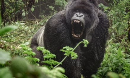 What sound does a gorilla make?