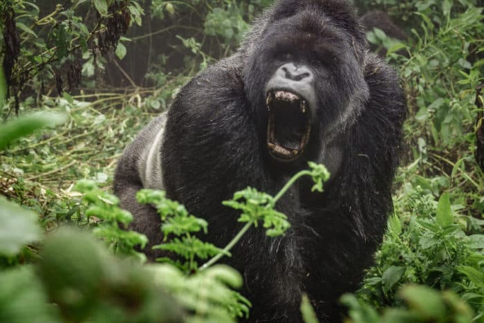 Mountain gorilla screaming, a sound made by gorillas when they are angry