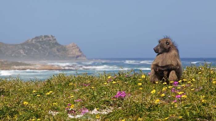 Male chacma baboon near the Cape of Good Hope