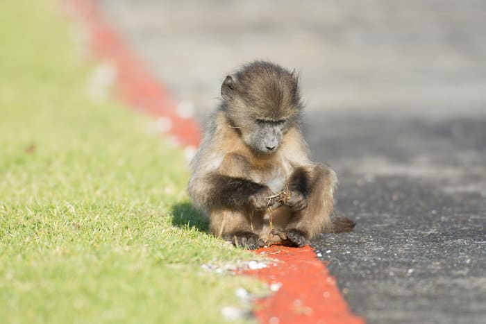 Baby baboon on the side of the road near Simon's Town