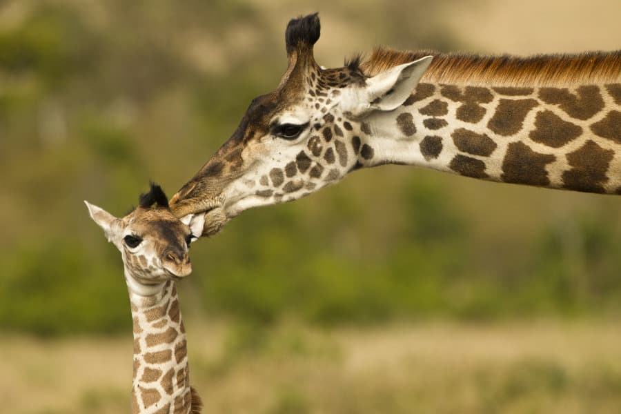 Baby Giraffe – 22 facts about Africa's cutest newborn