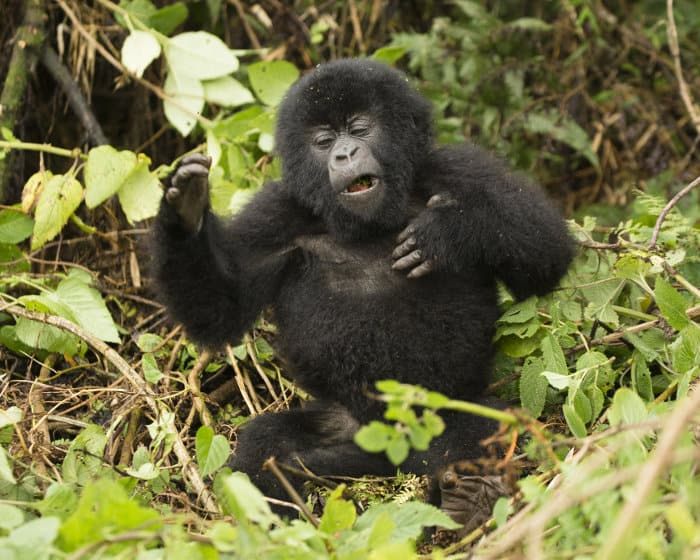Baby mountain gorilla beating its chest in Volcanoes National Park
