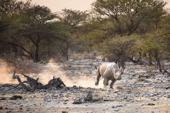 Black rhino kicks up dust whilst running away in Etosha