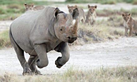 How fast is a rhino?
