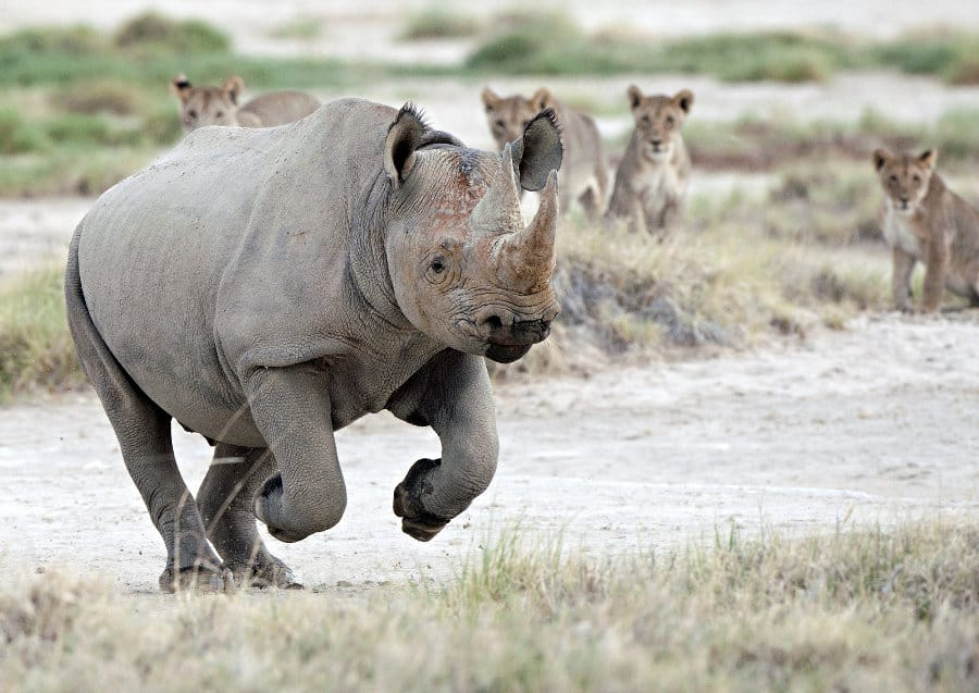 How fast is a rhino?