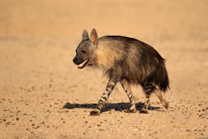 Brown hyena in the Kalahari desert in South Africa