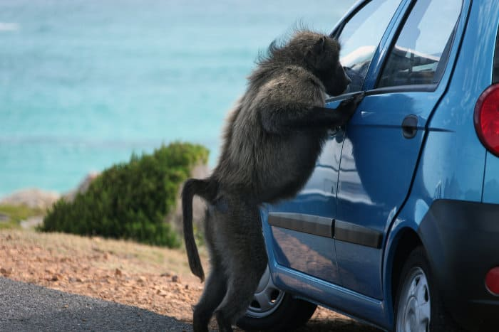 Chacma baboon tries to steal food from a car