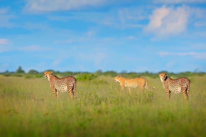 Cheetah family in Moremi