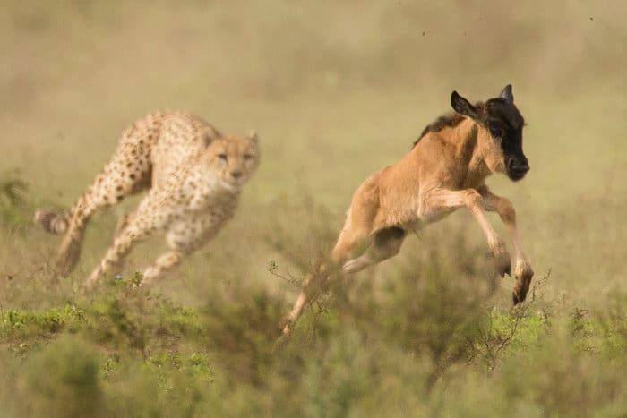 Cheetah hunting a baby wildebeest in Ndutu