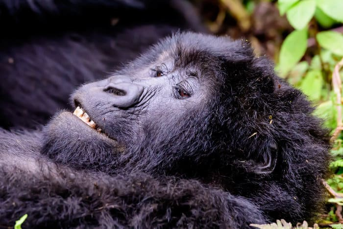 Contented mountain gorilla lying down