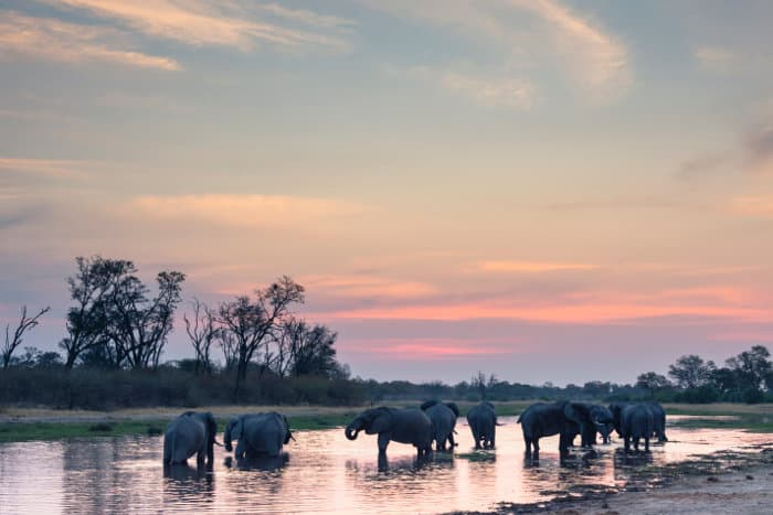 Elephant herd at sunset in the Khwai concession