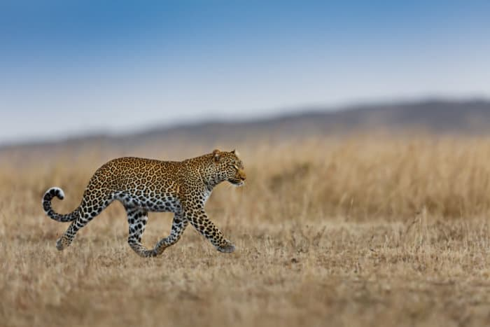 Female leopard on the move in the Masai Mara