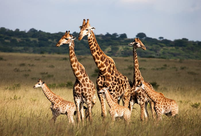 Giraffe family on the African savannah