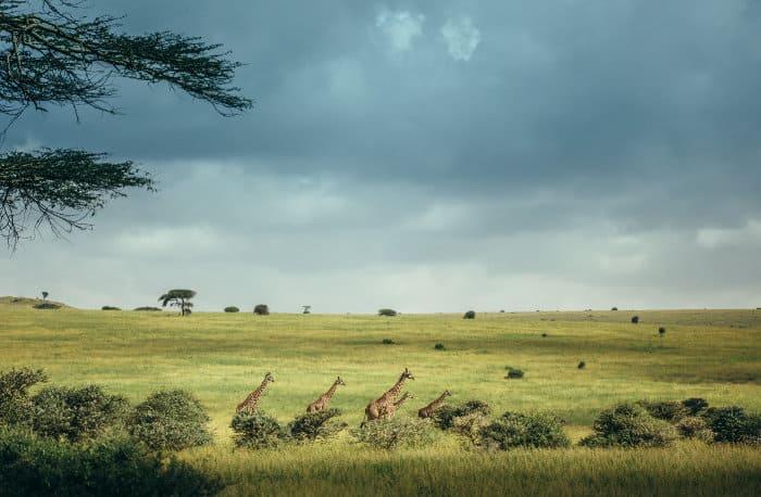 Giraffes in the open Nairobi National Park