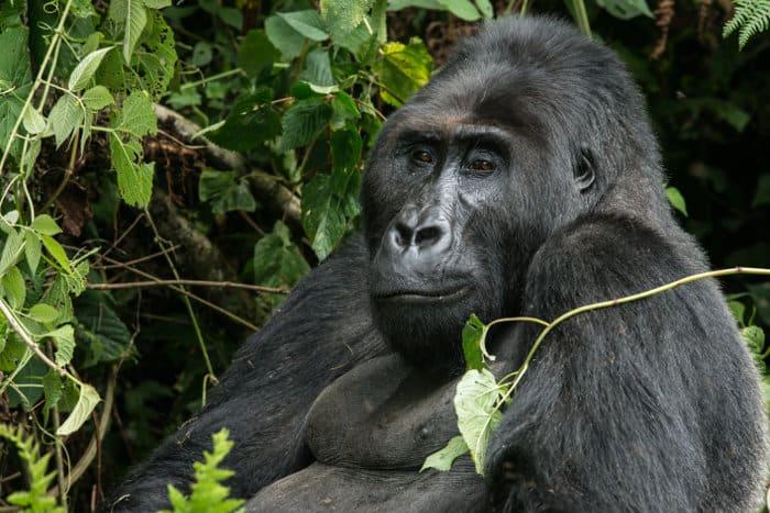 Happy gorilla in the Kahuzi Biega mountains