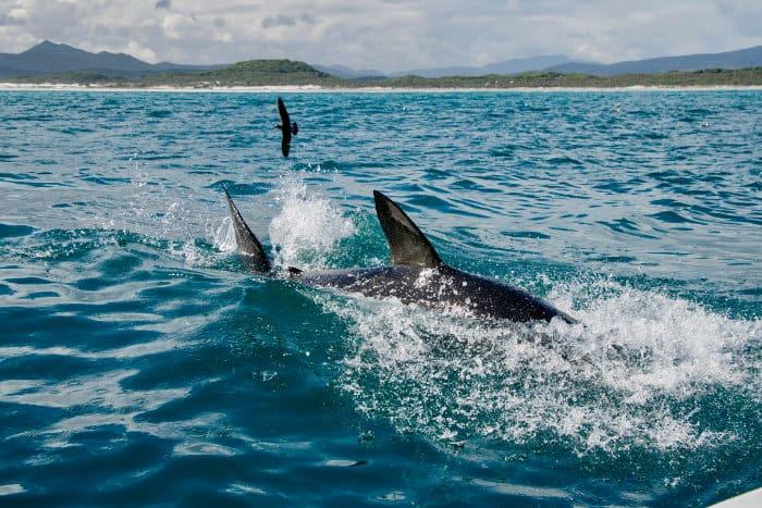 Great white shark splashes around the surface Gansbaai