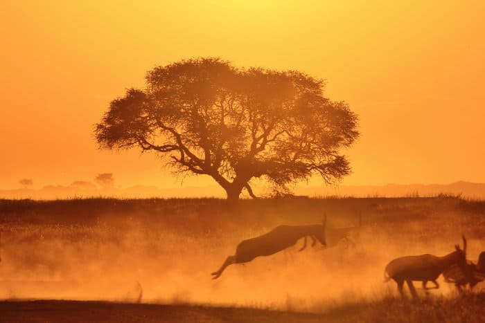 Herd of blesbok running, against golden sunset