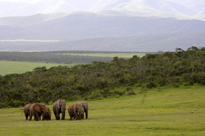 Herd of elephants in Addo Elephant National Park