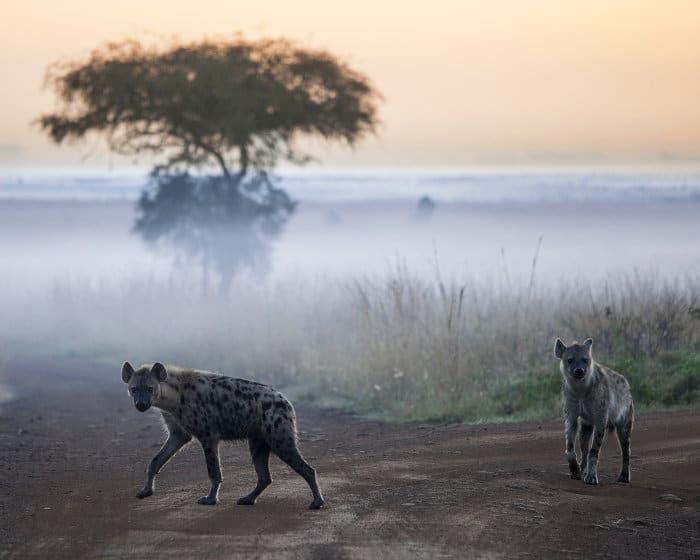 hyena at dawn Nairobi National Park
