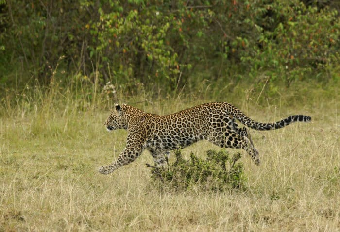 Leopard on the run in the Mara