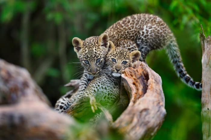 Two leopard cubs playing in the Mara